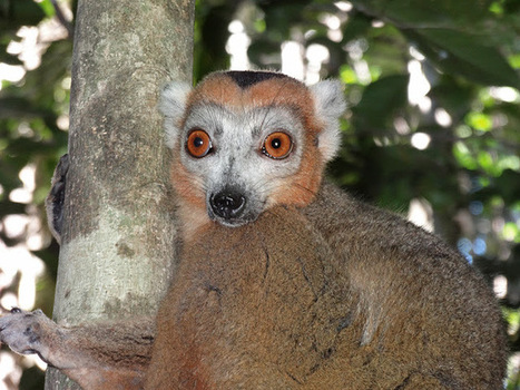 Eulemur coronatus, le Lémur couronné (Madagascar) | The Blog's Revue by OlivierSC | Scoop.it