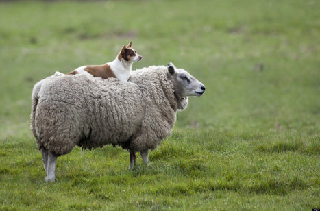 Dog Rides Sheep In The Best Photo You Might See All Day - Huffington Post | animals and prosocial capacities | Scoop.it