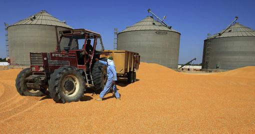 En Egypte, la crise renforce la précarité des cultivateurs de blé