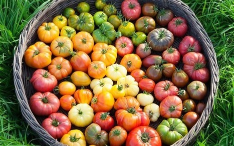 Why homegrown tomatoes really are healthier - and taste better | Gardening | Scoop.it