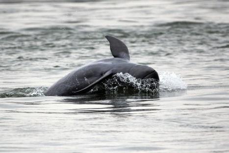 En Birmanie, les dauphins de l'Irrawaddy menacés d'extinction | Biodiversité | Scoop.it