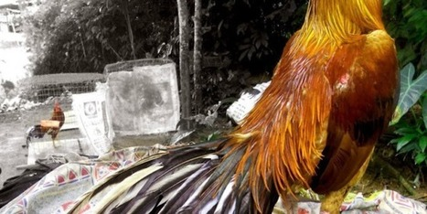 TIPS CARA MELEBATKAN DAN MEMPERINDAH BULU AYAM BANGKOK | Situs Adu Ayam | Scoop.it