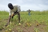 FAO Media Centre: High levels of food insecurity in South Sudan | Parasitic Plants | Scoop.it