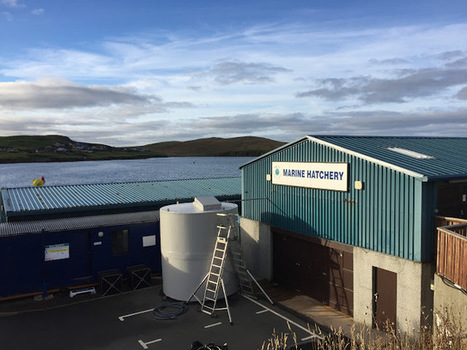 06/10/2016: Mussel spawning trials now underway at pilot hatchery   Global Aquaculture News & Events   Scoop.it