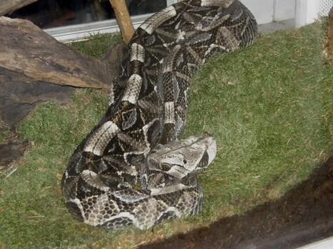 Photos de serpents : Vipère du Gabon - Bitis gabonica - Echidna Gabonica - Cobra gabonica - Gaboon viper - Butterfly adder | Fauna Free Pics - Public Domain - Photos gratuites d'animaux | Scoop.it