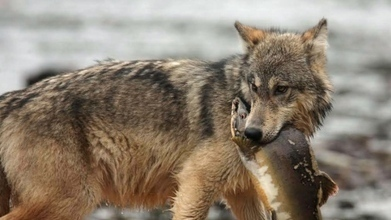 Wolves on B.C.'s islands, mainland genetically different | Earth and Psyche | Scoop.it