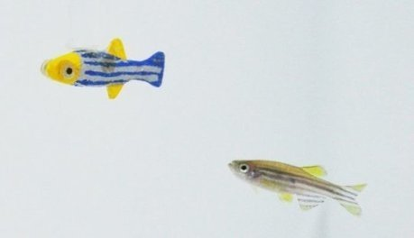 Zebrafish want to hang out with moving 3-D robotic models of themselves | kitnewtonium | Scoop.it