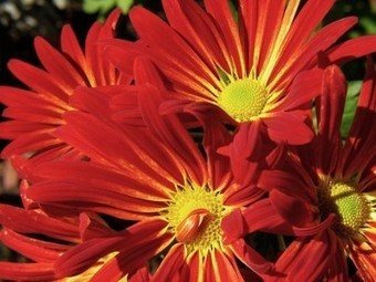 School Library Monthly Blog » Blog Archive » Flowers in Autumn   Skolebibliotek   Scoop.it