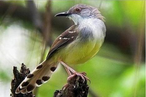 Harga Burung Ciblek Semua Jenis Terbaru Novembe
