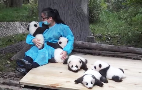 The World's Best Job: This Woman Hugs Pandas And Is Paid $32,000 | Food for Pets | Scoop.it