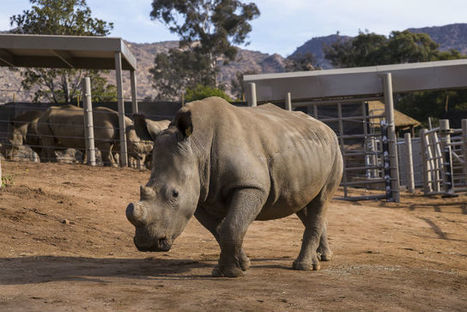 More Testing Done on Wounded Rhino at San Diego Safari Park - Times of San Diego | Save our Rhino and all animals...this is what it looks like!!!!! | Scoop.it