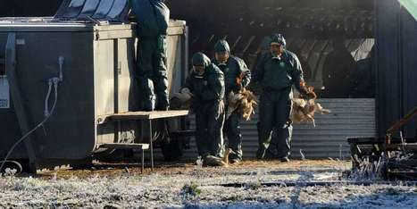 Grippe aviaire: près 4 millions de volailles pourraient être abattues en Europe | Agriculture en Dordogne | Scoop.it
