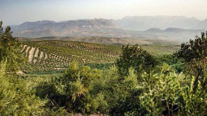 The olive oil industry is confronting death by spittlebug in Europe