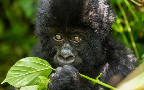 Virunga est à nouveau ouvert, attendant la reprise du tourisme | Virunga - WWF | Scoop.it