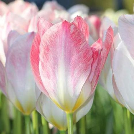 Planting Tulip Bulbs for Spring | Garden Ideas by Team Pendley | Scoop.it
