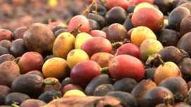 Brazilian farmers wake up to their own specialist coffee... | Coffee News | Scoop.it