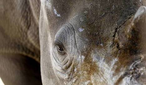 Poacher's paradise: The terrifying underworld behind rhino horn trade  | What's Happening to Africa's Rhino? | Scoop.it