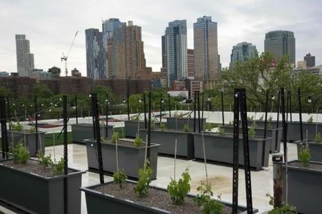 Un premier vignoble sur un toit de New York | Manon Jacob | Actualités | Images et infos du monde viticole | Scoop.it