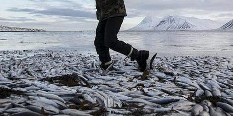 Des millions de harengs meurent asphyxiés | Mais n'importe quoi ! | Scoop.it