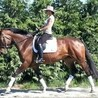 Brown Dressage Horses For Sale