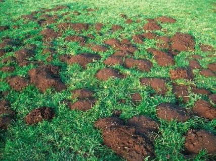 La lutte contre les campagnols terrestres dans le Massif central - Pleinchamp   Les colocs du jardin   Scoop.it