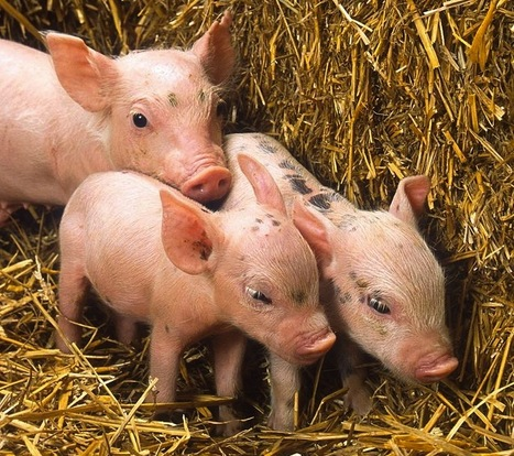 What Are The Economics of Swine Litter Sizes? | Agriculture | Scoop.it
