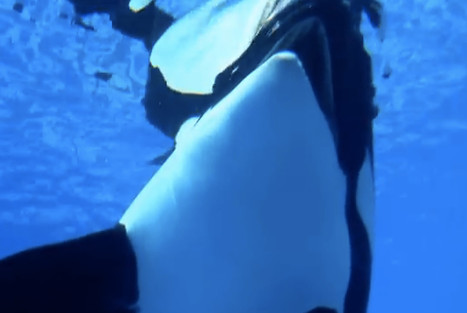What Years of Captivity in SeaWorld Has Done to Poor Tilikum (VIDEO) | Nature Animals humankind | Scoop.it