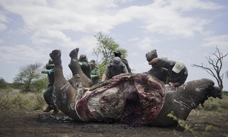 More than 1,000 rhinos killed in South Africa in 2013 | Elephants In Peril | Scoop.it