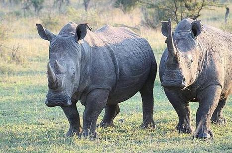 It's a fight to finish at rhino killing fields of South Africa | What's Happening to Africa's Rhino? | Scoop.it