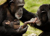 Charting Brain Growth in Humans and Chimps | Preschool | Scoop.it