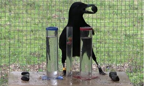 Physics-minded crows bring Aesop's fable to life | emergent-complexity | Scoop.it