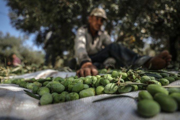 Une initiative législative pour surmonter la crise de l'huile d'olive en Tunisie