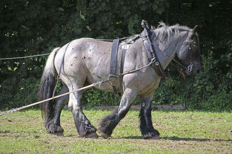 Le cheval de trait de retour dans 47 communes wallonnes   Nature to Share   Scoop.it