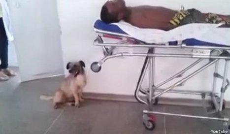 Ce chien a suivi sans relâche l'ambulance qui transportait son maître à l'hôpital   CaniCatNews-actualité   Scoop.it