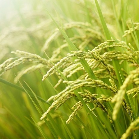 JIC mention, quote: Weeds get unintended 'fitness' boost from genetic modification | BIOSCIENCE NEWS | Scoop.it