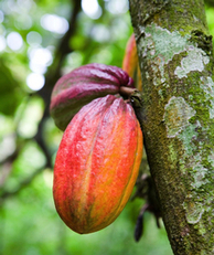 Melting chocolate: climate change threatens West Africa's cocoa dominance | adapting to climate change | Scoop.it