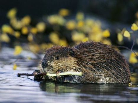 """""""Animals in Action""""— Orange County Zoo's Beavers (Betty & Buckley) 