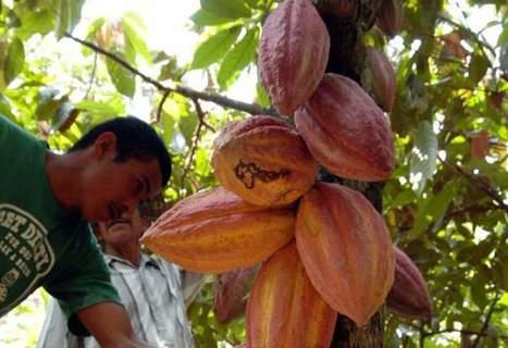 Honduras busca consolidar su producción de cacao | cacao | Scoop.it