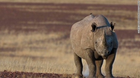 Debate over Dallas Safari Club auctioning black rhino hunting permit | ScoopCapture | Scoop.it