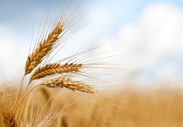 Has the nutritional value of wheat changed? | Wheat World | Scoop.it