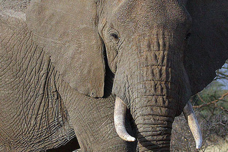 The Economics of Illegal Ivory | Wildlife Trafficking: Who Does it? Allows it? | Scoop.it