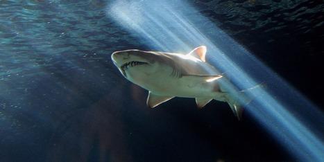 La moitié des requins et raies de Méditerranée menacés d'extinction | Zones humides - Ramsar - Océans | Scoop.it