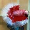 Select Best Betta Fish Pair For Breeding