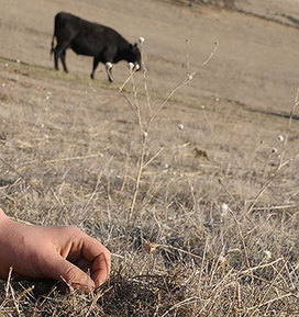 California ranchers anticipate devastating drought impacts, study finds :: UC Davis News & Information | The Barley Mow | Scoop.it