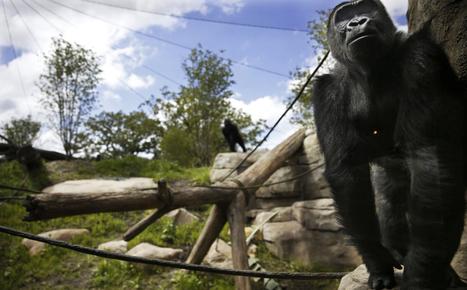 Como Zoo unveils new gorilla exhibit, new gorillas - Minneapolis Star Tribune   Museums and exhibits   Scoop.it