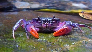 Purple Crabs Found in the Philippines | e-Expeditions | e-Expeditions News | Scoop.it