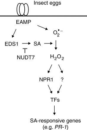 J. Exp. Bot.: Signalling of Arabidopsis thaliana response to Pieris brassicae eggs shares similarities with PAMP-triggered immunity (2012) | Effectors and Plant Immunity | Scoop.it