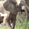 The Elephant with no trunk