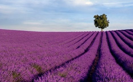 Lavender fields in Provence, France | Gardening Life | Scoop.it
