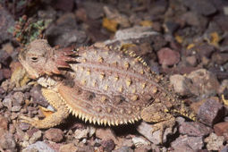 Pima County will pay $284,000 to protect lizards at construction site | Arizona Daily Star | CALS in the News | Scoop.it